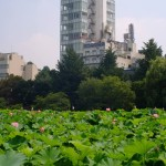 不忍池の蓮の花(The lotus of Shinobazunoike)-08