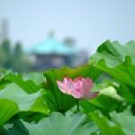 不忍池の蓮の花(The lotus of Shinobazunoike)-12