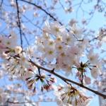 桜 2015(Cherry tree 2015)-011