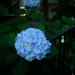 白山神社と紫陽花(Hakusan Shrine and hydrangea)-008