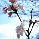 桜 2015(Cherry tree 2015)-008