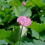 不忍池の蓮の花(The lotus of Shinobazunoike)-02