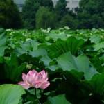不忍池の蓮の花(The lotus of Shinobazunoike)-03