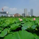 不忍池の蓮の花(The lotus of Shinobazunoike)-04