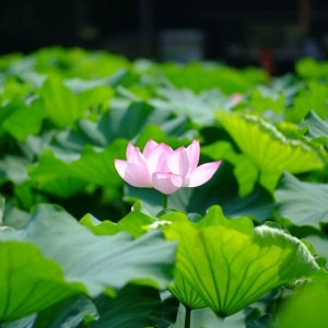 不忍池の蓮の花(The lotus of Shinobazunoike)-05