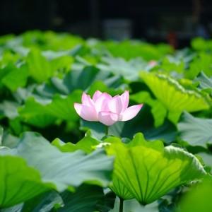 不忍池の蓮の花(The lotus of Shinobazunoike)-05