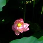 不忍池の蓮の花(The lotus of Shinobazunoike)-10
