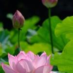 不忍池の蓮の花(The lotus of Shinobazunoike)-11