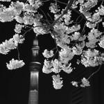 桜 2015(Cherry tree 2015)-015