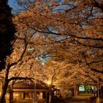 桜 2015(Cherry tree 2015)-017