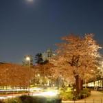 桜 2015(Cherry tree 2015)-003