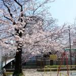 桜 2015(Cherry tree 2015)-012