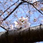桜 2015(Cherry tree 2015)-010