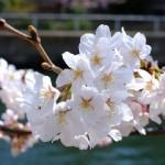 桜 2015(Cherry tree 2015)-009