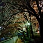 桜 2015(Cherry tree 2015)-027