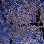 桜 2015(Cherry tree 2015)-023