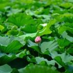 不忍池の蓮の花(The lotus of Shinobazunoike)-01