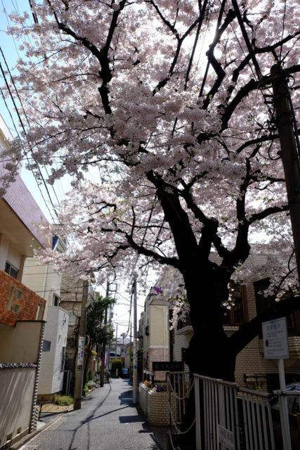 職場近くの桜