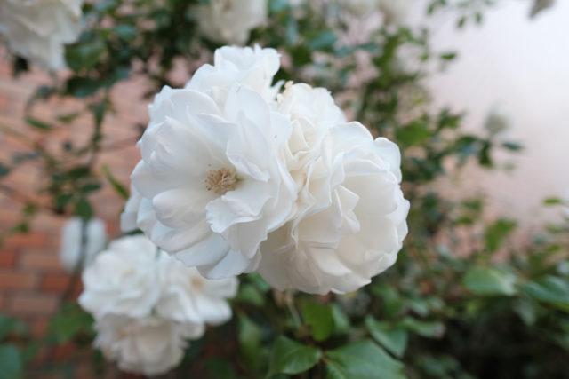 歩道沿いに咲くバラ。