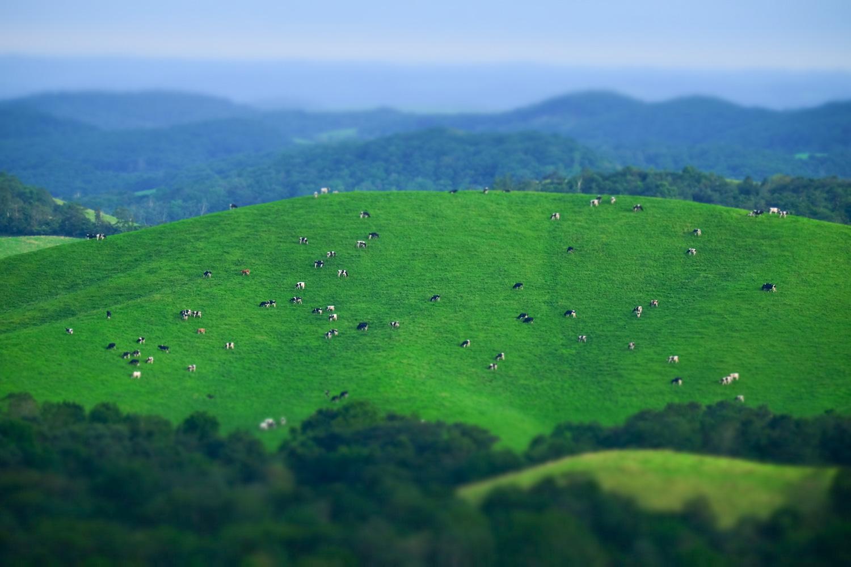 牛がいっぱい